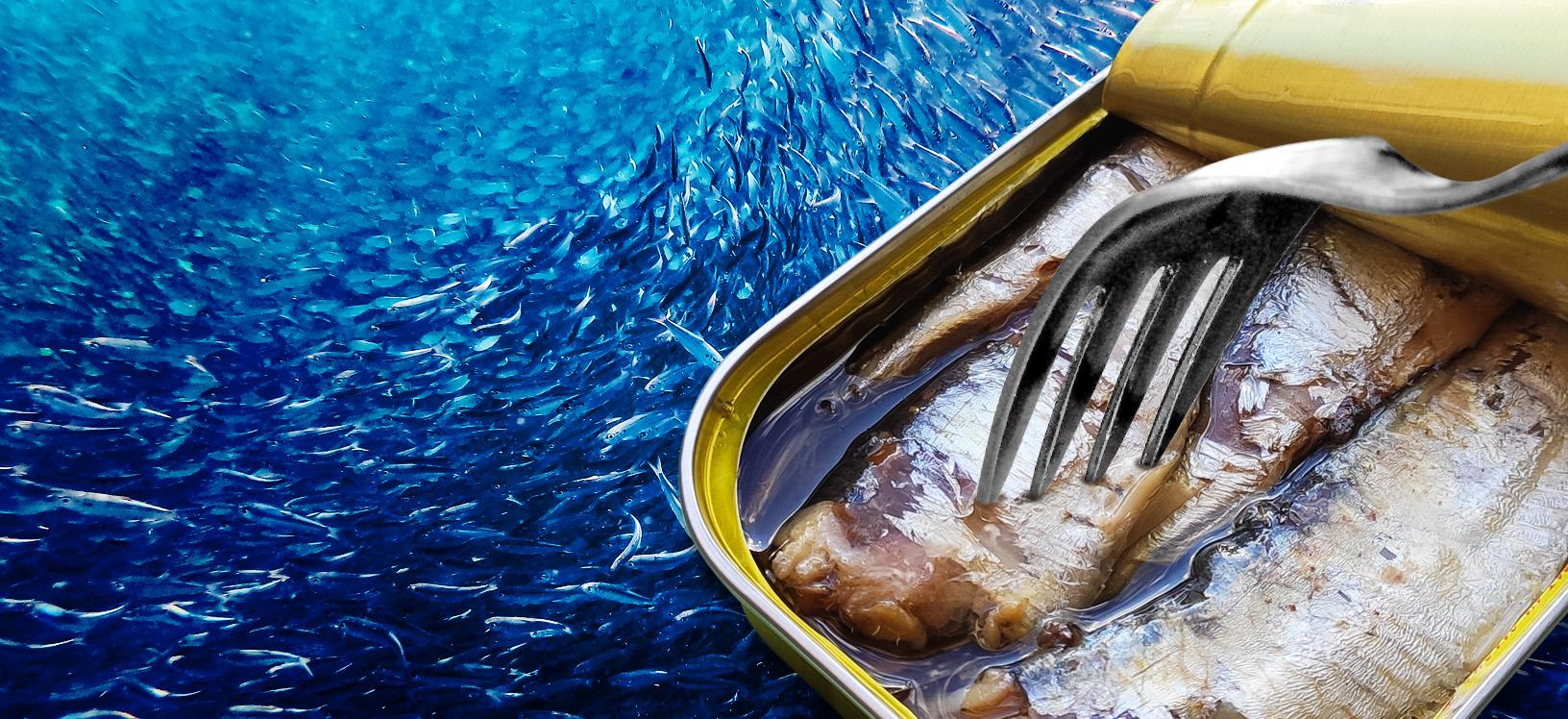 sardine pollastrini